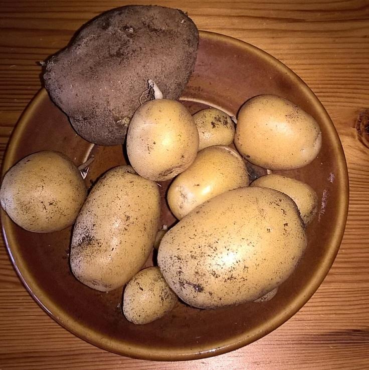 Kartoffelernte.jpg