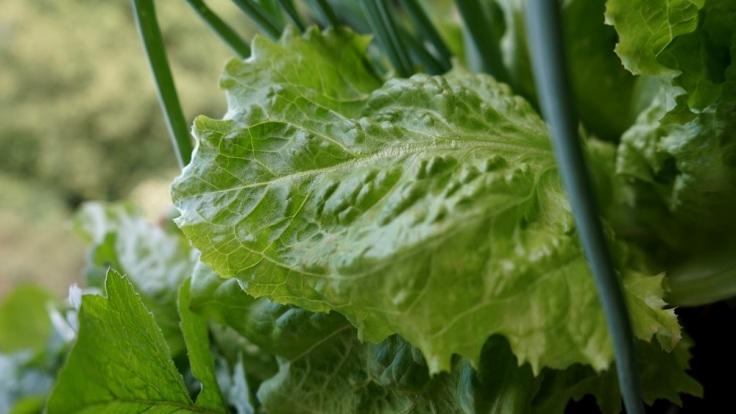 Salatblatt.JPG
