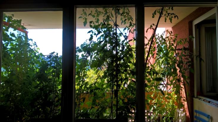 BalkonVoller Tomaten