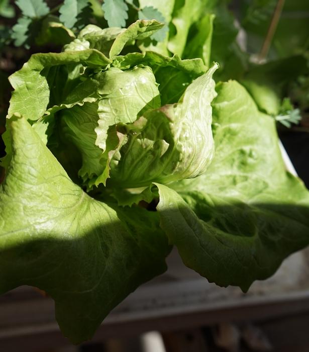 4_Salat Grüner aus Maria Lankowitz