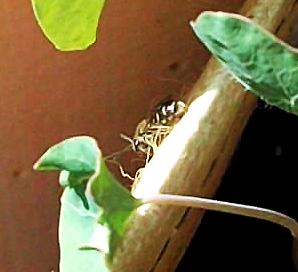 kleine Wildbiene